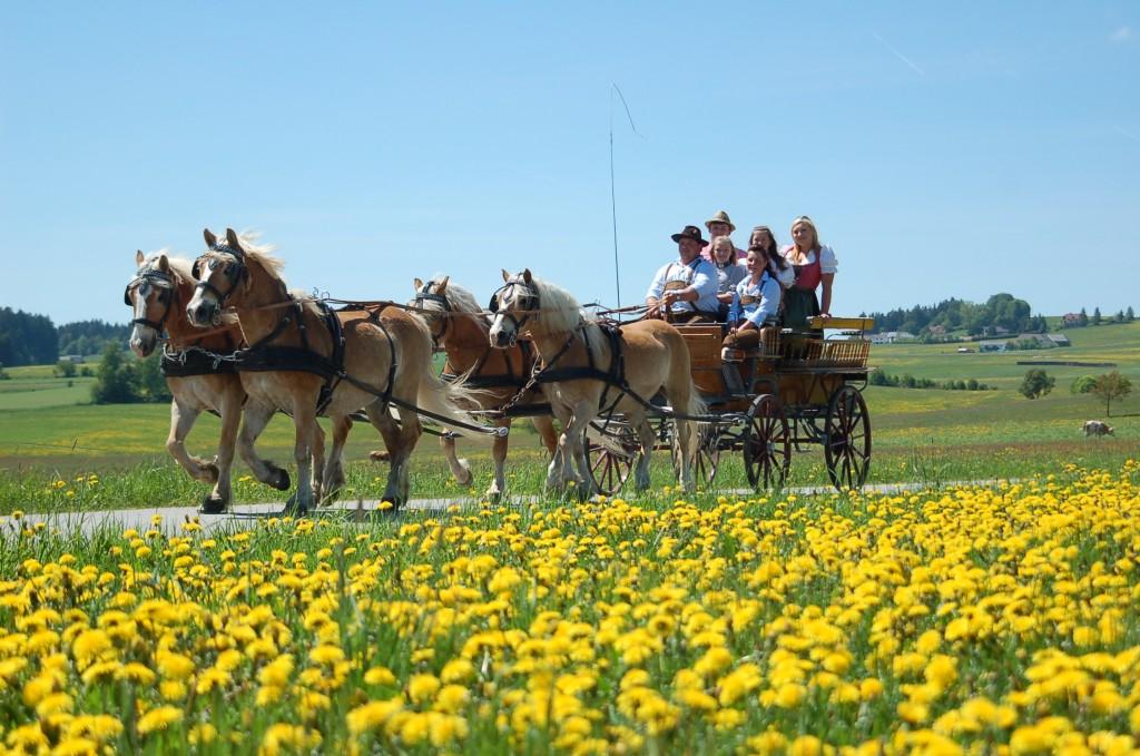 Familie Reingruber mit einem 4er Zug ihrer Haflinger.